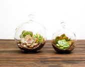 Succulent Terrarium Duo Medium Globe and Small Globe: Graptopetalum Pink, Sedum Pachyphyllum, Sedum Clavatum, and Jade
