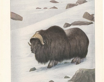 1918 Musk Ox Antique Print