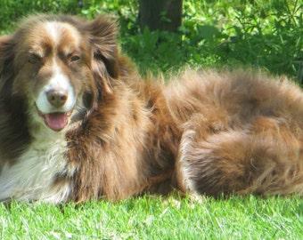 Dog Photo, Australian Shepherd Print, Dog Lovers Gift, Animal Art, Dog Photography