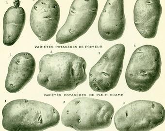 1922 Vintage Potatoes print, Antique Potato Print, Vegetables, Original Larousse illustration, Farmhouse decor, Rustic style