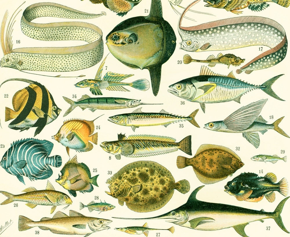 1897 poissons de mer illustration larousse par sofrenchvintage - Grand poisson de mer ...