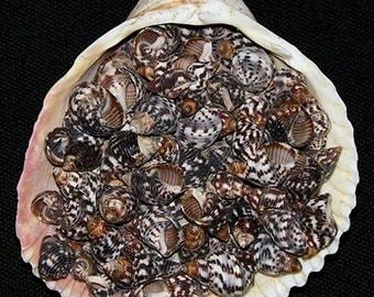 "Planaxis Sulcatus Seashells ~ Approximately (1000) 3/8""~1/2"" Craft Shells per 1/2 lb. ~ 8.95 ~ Sailors Valentine ~ FREE SHIPPING ~"