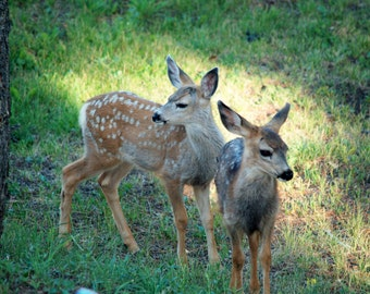 Two Fawns in the Colorado Foothills