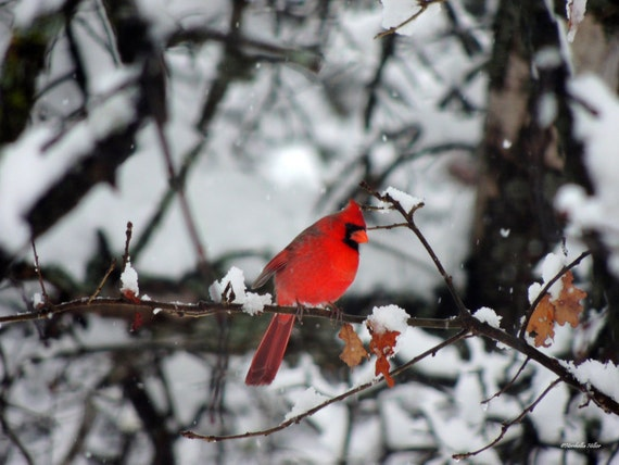 Items Similar To Red Cardinal Bird Prints Free Shipping
