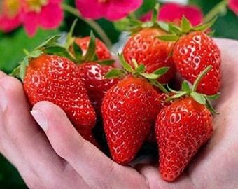 100 seeds Toscana strawberry