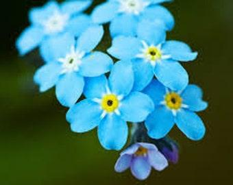 Myosotis alpestris Forget-Me Blue Flowers Seeds from Ukraine #1393