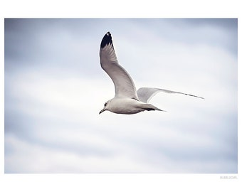 Nature Photography PRINT, Seagull in Flight -1, Wall Art