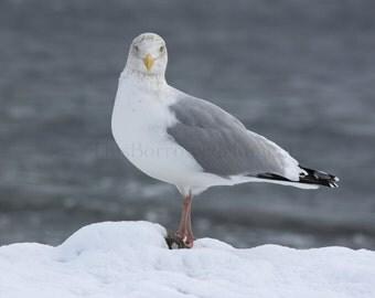Sassy Seagull Nature Photography, 5x7 or 8x12Outdoor Photo, Birds, Ocean, Halifax Canada