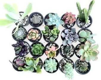 CHOOSE YOUR OWN succulent plant assortment variety pack - colorful, rare