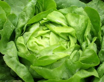 Parris Island Cos Romaine Lettuce ( 500 thru 4000 seeds ) bulk heirloom #144