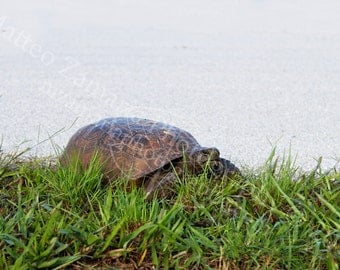 Tortoise Eating Grass || PHYSICAL PRINT