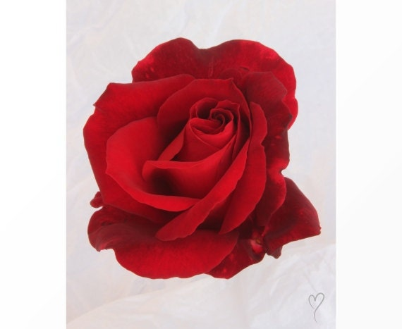"""Red Wall Decor of a Rich Red Rose, RED HOME DECOR, Red Art Print, Red Wall Art, Flower Photograph, Red Rose, Rose Picture """"Royally Red"""""""