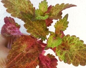 2 Coleus Plant - Red Ruffles Coleus