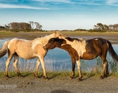 Chincoteague Ponies Necking: Wildlife art photography prints for home or office wall decor.