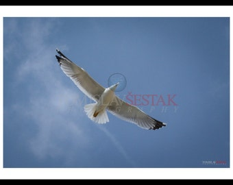 Photography print - Seagull