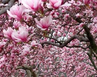 Japanese Magnolia 10 Seeds
