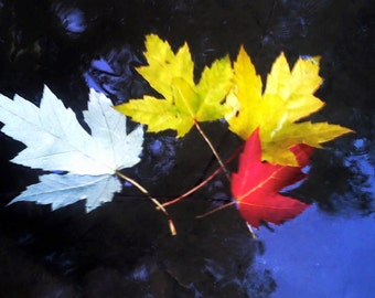 Autumn Leaves Floating on the Water with Beautiful Tree Reflection , White , yellow and red leaves ... A print of an original photo
