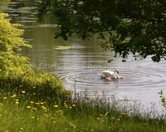 V - Swan Lake