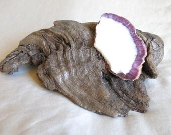 Driftwood & Sea Shell