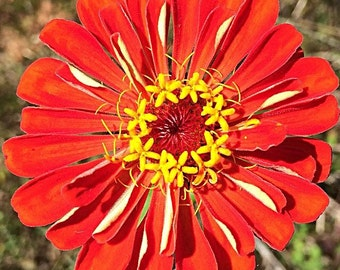 Red zinnia photograph, plant, photograph, picture, wall art
