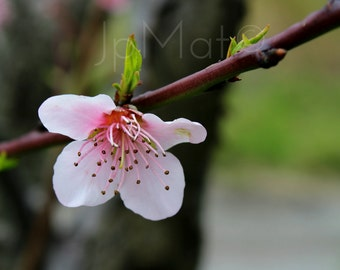 Instant Download - Cherry Flower from Calabria (ITALY)