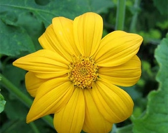 Mexican Sunflower Yellow Torch Flower Seeds/Tithonia Speciosa/Annual  35+
