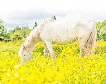 AMONGST THE BUTTERCUPS 2. Horse Print, New Forest Pony, Dorset Print, Limited Edition Print
