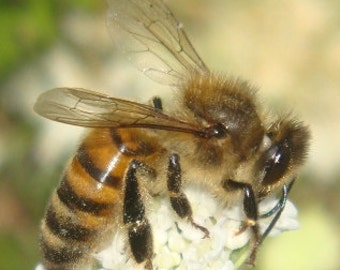 Real Honeybee Specimens Dead 25 Count
