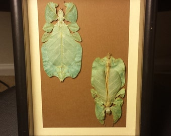 Two Mounted Leaf Insects