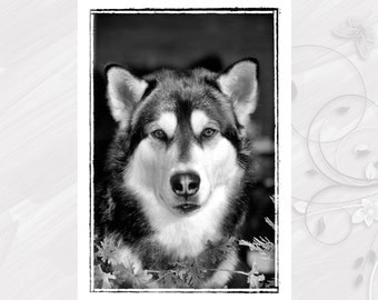"Post card greeting card ""Alaskan Malamute"" dog - [# GK. 2011.022]"