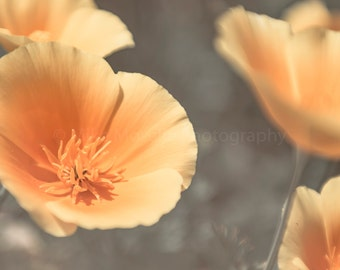 Golden State Poppies