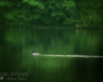 Common Loon on a lake in Wisconsin