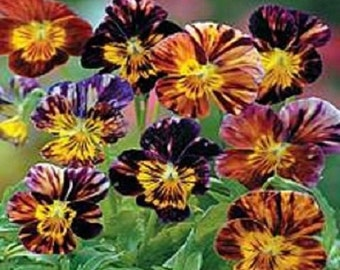 25+ Brush Strokes Mix Viola / Shade-Loving / Perennial Flower Seeds