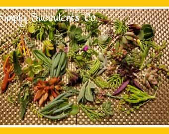 25 Succulent Cuttings DIY