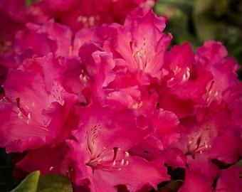 Hellikki Red Rhododendron 1 Gallon