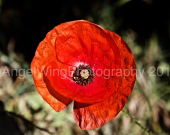 Poppy - Nature Photography - Flower Photography