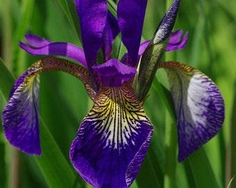 Iris sibirica (Siberian Iris) 30 Seeds D9is