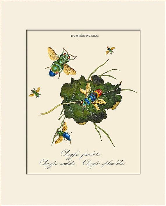 Chrysis Fasciata, India Insect, Edward Donovan, Art Print with Mat, Natural History Illustration, Wall Art, Wall Decor, Vintage Print