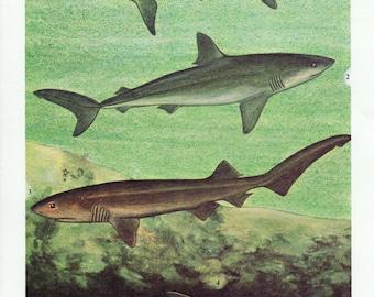 1960's Vintage Shark Print, Shark Print, Shark Lithograph, Shark Plate, Shark, Sharks, Sea Life, Bathroom Decor