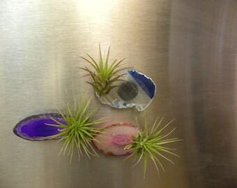 Tillandsia Airplant sliced agate magnet