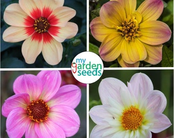 Dahlia seeds| 100+ seeds| Mixed Colors | Non gmo seeds, Untreated, 100% fresh seeds