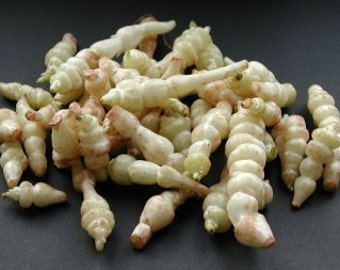 5 Crosnes Tubers - Stachys affinis - Chinese Artichoke - For Planting or Eating