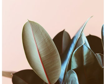 Nature Photograph - Plant Photograph - On Pink - Ficus Elastica #1 - Rubber Plant - Fine Art Photo - Alicia Bock - Floral Art - Green - Leaf