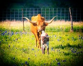Longhorn Photography, Texas Bluebonnets, Calf, Spring, Farm, Rural, Cowboy, Old West, Cattle, Animal, Ranching, Rural, Ranch Animals