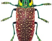 Madagascar Jewel Beetles, Real Dried Beetle Insect Unmounted Lampropepla rothschildi