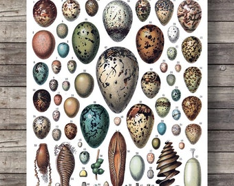 Printable art | Antique Eggs print | Vintage scientific illustration | Bird Eggs Print Nature art print | Natural History art Victorian art