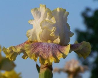 Ring Around Rosie,one iris rhizome