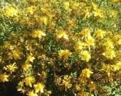 St. John's Wort Oil  Hypericum perforatum 1 pint triple infused KiOhmA Anarchy Herbals