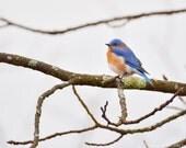 Eastern Bluebird Wildlife Photo
