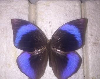 RARE Amethyst Elegant Leaf Wing Butterfly